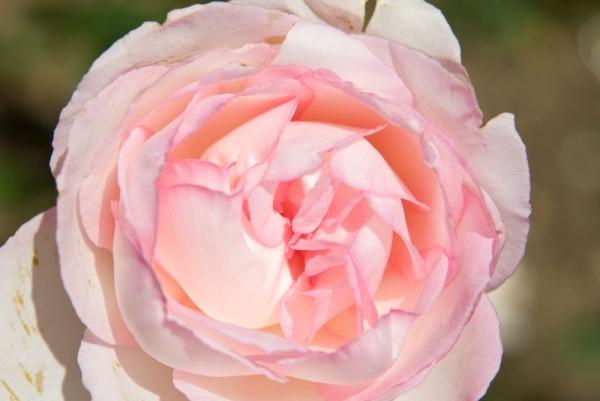 valentines_flower3
