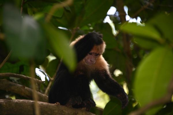 costa_rica_monkey
