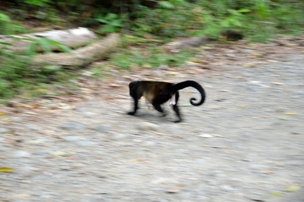 costa_rica_monkey_03