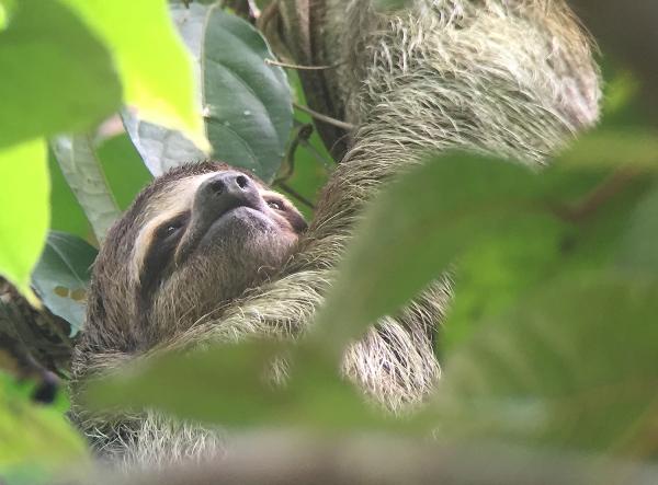 costa_rica_sloth