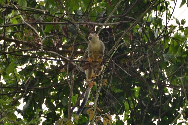 costa_rica_spider_monkey