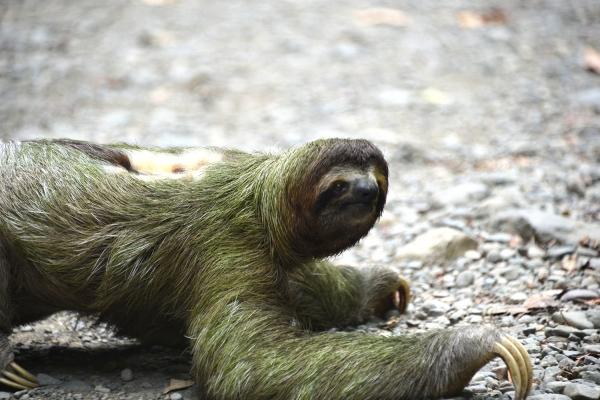 Sloth_manuel_antonio_01