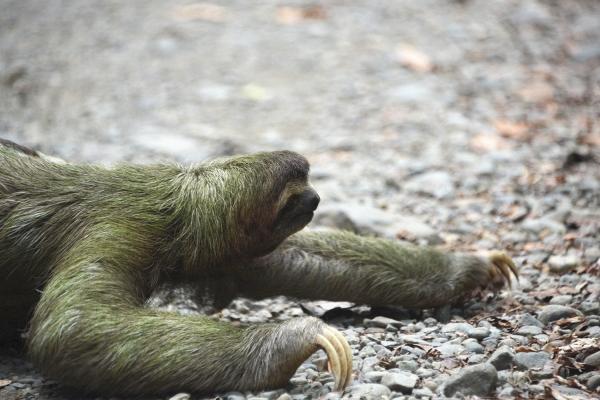 Sloth_manuel_antonio_02