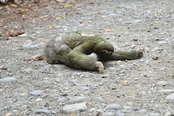 Sloth_manuel_antonio_03