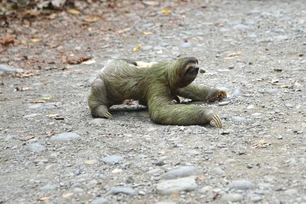 Sloth_manuel_antonio_04