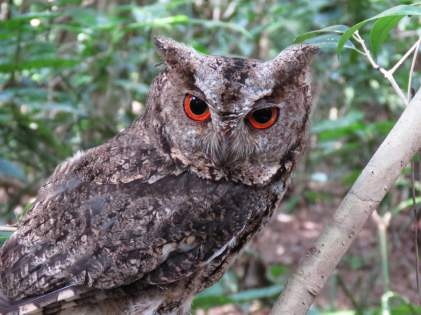 Japanese_scops_owl