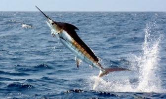 marlin-photo-noaa-fisheries