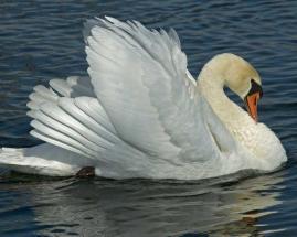 Mute_Swan_c22-34-366_l_1
